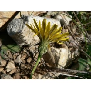 Photographie n�urn:lsid:tela-botanica.org:celpic:19267 du taxon Reichardia picroides
