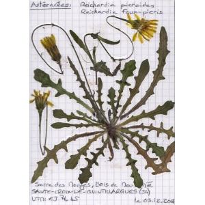 Photographie n�urn:lsid:tela-botanica.org:celpic:55380 du taxon Reichardia picroides