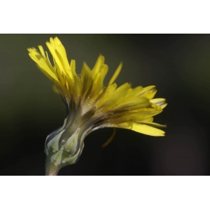 Photographie n�urn:lsid:tela-botanica.org:celpic:59036 du taxon Reichardia picroides