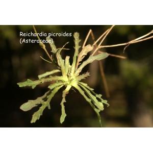 Photographie n�urn:lsid:tela-botanica.org:celpic:59038 du taxon Reichardia picroides