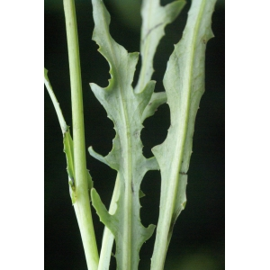 Photographie n�urn:lsid:tela-botanica.org:celpic:59043 du taxon Reichardia picroides