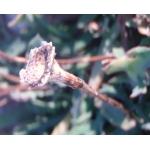 Photographie n�urn:lsid:tela-botanica.org:celpic:93735 du taxon Reichardia picroides