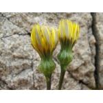 Photographie n�urn:lsid:tela-botanica.org:celpic:97183 du taxon Reichardia picroides