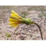 Photographie n�urn:lsid:tela-botanica.org:celpic:97428 du taxon Reichardia picroides