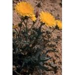 Photographie n�urn:lsid:tela-botanica.org:celpic:98332 du taxon Reichardia picroides