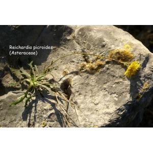 Photographie n�urn:lsid:tela-botanica.org:celpic:207824 du taxon Reichardia picroides