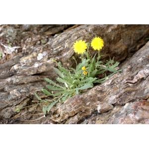 Photographie n�urn:lsid:tela-botanica.org:celpic:207828 du taxon Reichardia picroides