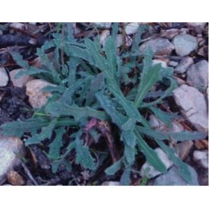 Photographie n�urn:lsid:tela-botanica.org:celpic:222246 du taxon Reichardia picroides