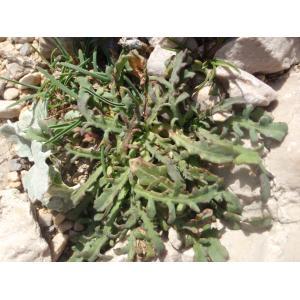 Photographie n�urn:lsid:tela-botanica.org:celpic:222462 du taxon Reichardia picroides
