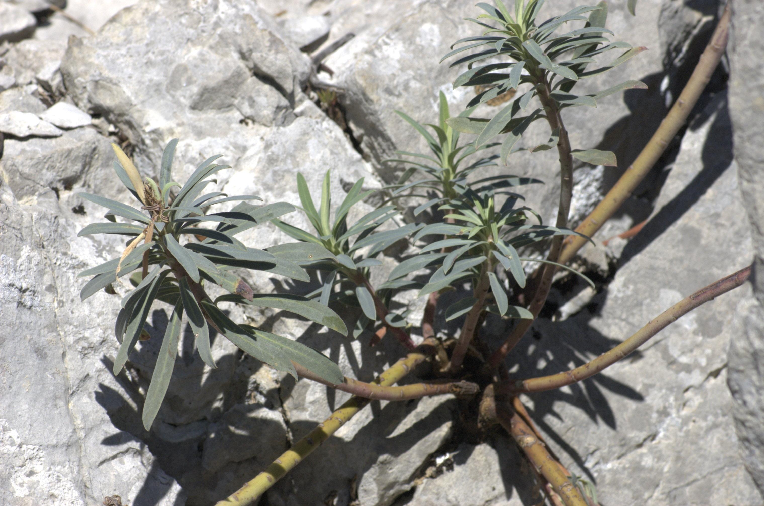 Euphorbia characias ou E. nicaensis ? [id. non terminée] Img:000007346O