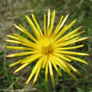 Marie  PORTAS - Taraxacum cucullatum Dahlst.