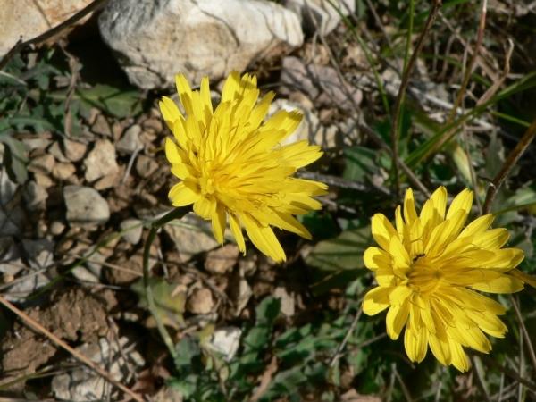 Photographie n�urn:lsid:tela-botanica.org:celpic:19490 du taxon Reichardia picroides