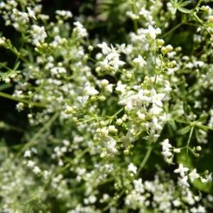 Image de Galium sylvaticum issue du cel, du site photoflora ou de la flore de Coste