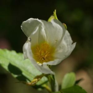 Image de Cistus laurifolius issue du cel, du site photoflora ou de la flore de Coste