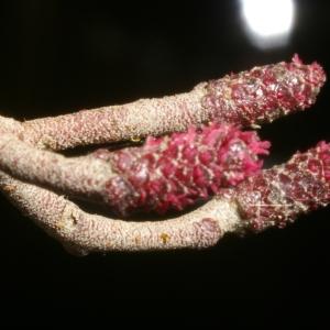 Image de Alnus glutinosa issue du cel, du site photoflora ou de la flore de Coste