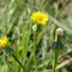 Daniel MATHIEU - Urospermum picroides (L.) Scop. ex F.W.Schmidt