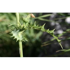 Photographie n°43050 du taxon Sonchus asper (L.) Hill