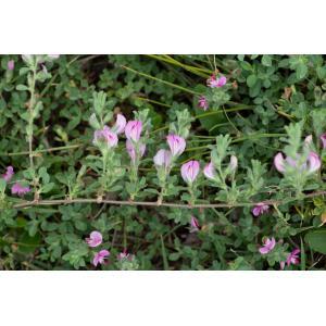 Image de Ononis spinosa var. maritima issue du cel, du site photoflora ou de la flore de Coste
