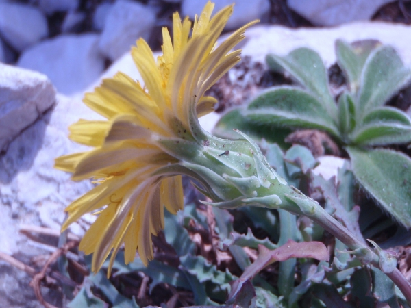 Photographie n�urn:lsid:tela-botanica.org:celpic:54038 du taxon Reichardia picroides