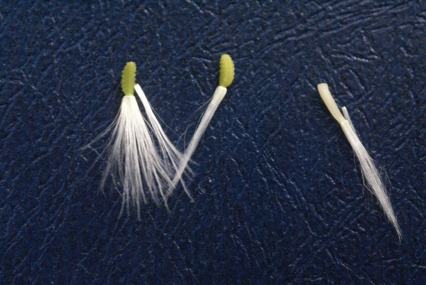 Photographie n�urn:lsid:tela-botanica.org:celpic:59033 du taxon Reichardia picroides