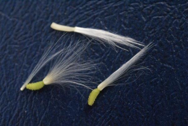 Photographie n�urn:lsid:tela-botanica.org:celpic:59034 du taxon Reichardia picroides