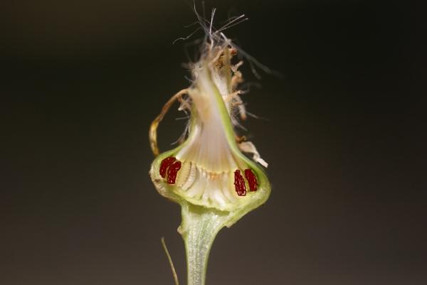 Photographie n�urn:lsid:tela-botanica.org:celpic:59035 du taxon Reichardia picroides