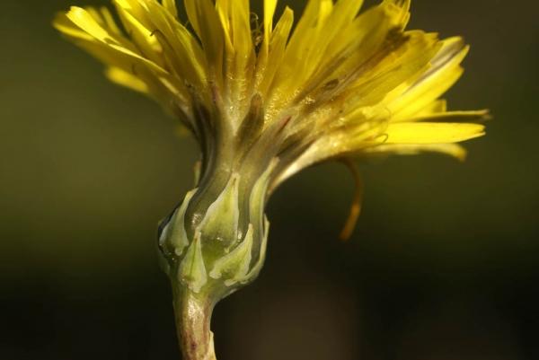 Photographie n�urn:lsid:tela-botanica.org:celpic:59037 du taxon Reichardia picroides