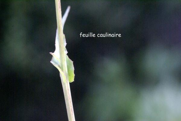 Photographie n�urn:lsid:tela-botanica.org:celpic:59041 du taxon Reichardia picroides