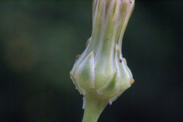 Photographie n�urn:lsid:tela-botanica.org:celpic:59044 du taxon Reichardia picroides