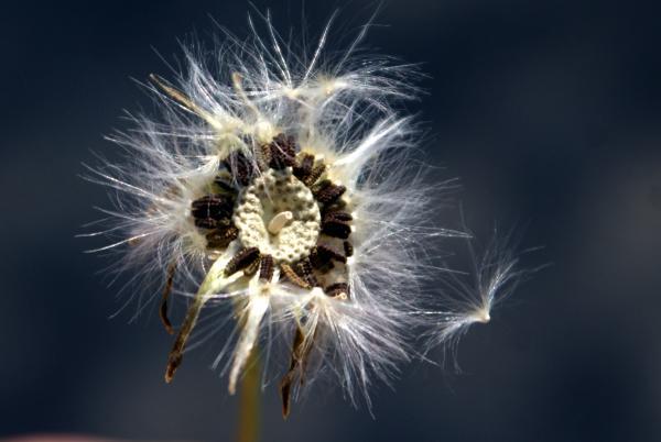 Photographie n�urn:lsid:tela-botanica.org:celpic:59046 du taxon Reichardia picroides