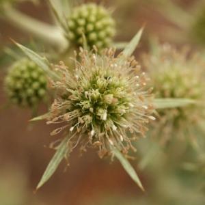 Image de Eryngium campestre issue du cel, du site photoflora ou de la flore de Coste