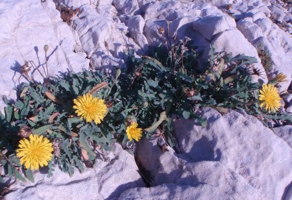 Photographie n�urn:lsid:tela-botanica.org:celpic:93733 du taxon Reichardia picroides