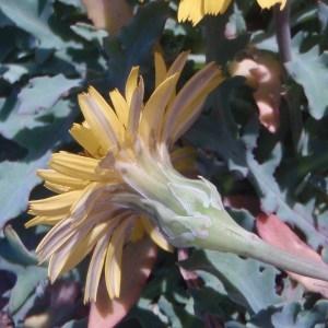 Image de Reichardia picroides issue du cel, du site photoflora ou de la flore de Coste