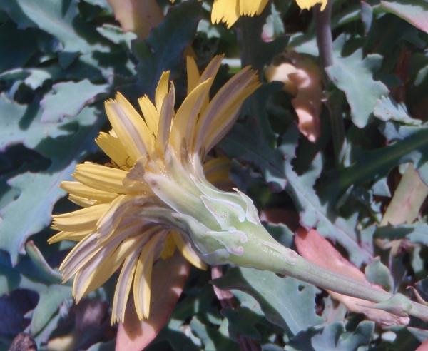 Photographie n�urn:lsid:tela-botanica.org:celpic:93734 du taxon Reichardia picroides