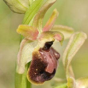 Image de  issue du cel, du site photoflora ou de la flore de Coste
