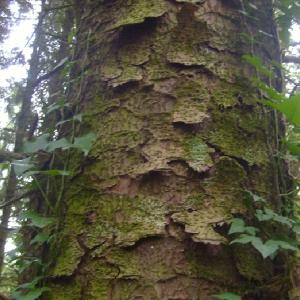 Image de Picea sitchensis issue du cel, du site photoflora ou de la flore de Coste