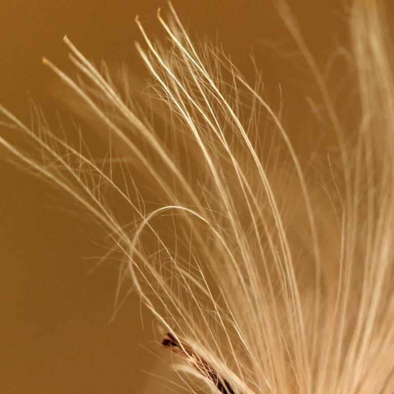 Akène à pappus plumeux d'un Cirse (Cirsium)