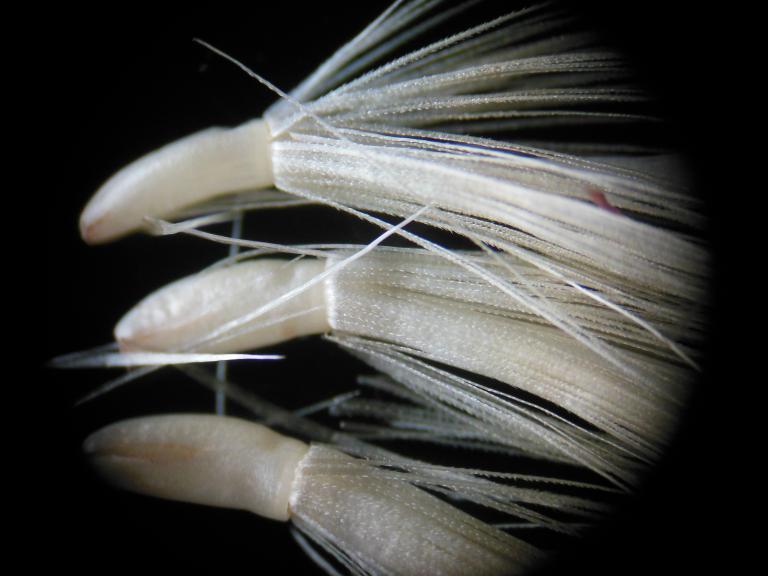 Akène à pappus denticulé d'un Chardon vrai (Carduus)
