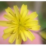 Photographie n°157686 du taxon Lapsana communis L.