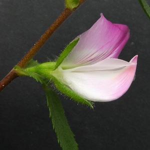 Image de Ononis spinosa subsp. procurrens issue du cel, du site photoflora ou de la flore de Coste