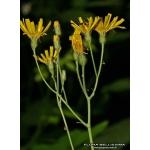 Photographie n°172178 du taxon Hieracium murorum L.
