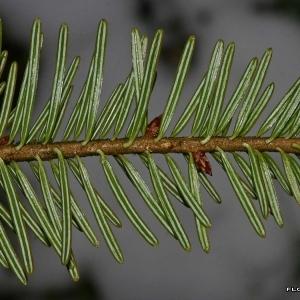 Image de Abies alba issue du cel, du site photoflora ou de la flore de Coste