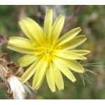 Photographie n°180913 du taxon Lactuca serriola L.
