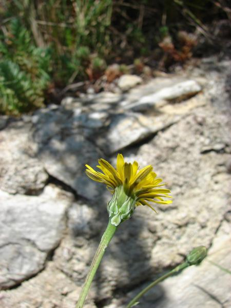 Photographie n�urn:lsid:tela-botanica.org:celpic:191524 du taxon Reichardia picroides