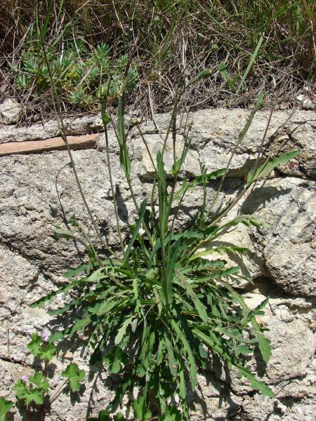 Photographie n�urn:lsid:tela-botanica.org:celpic:191533 du taxon Reichardia picroides