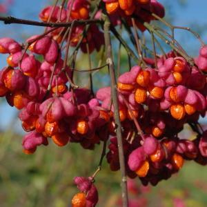 Image de Euonymus europaeus issue du cel, du site photoflora ou de la flore de Coste