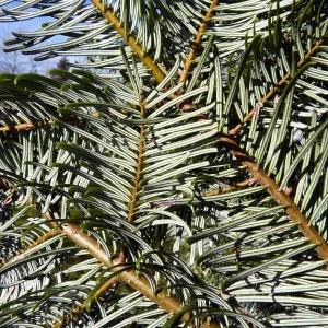Abies grandis (Douglas ex D.Don) Lindl. (Sapin de Vancouver)