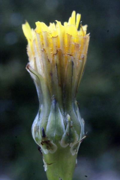 Photographie n�urn:lsid:tela-botanica.org:celpic:207661 du taxon Reichardia picroides