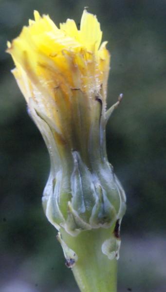 Photographie n�urn:lsid:tela-botanica.org:celpic:207662 du taxon Reichardia picroides