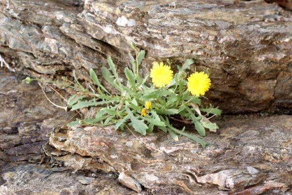 Photographie n�urn:lsid:tela-botanica.org:celpic:207827 du taxon Reichardia picroides